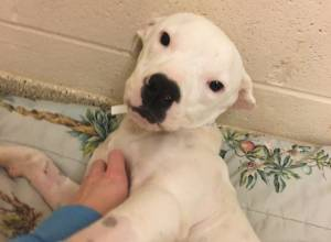 ARCHER (White Pitbull)