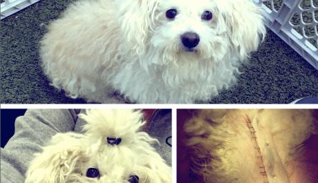 ELSIE (Poodle)
