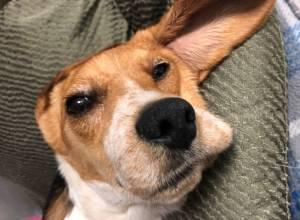 BARNEY (Beagle)