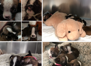Cleft Palate Boxer Puppies